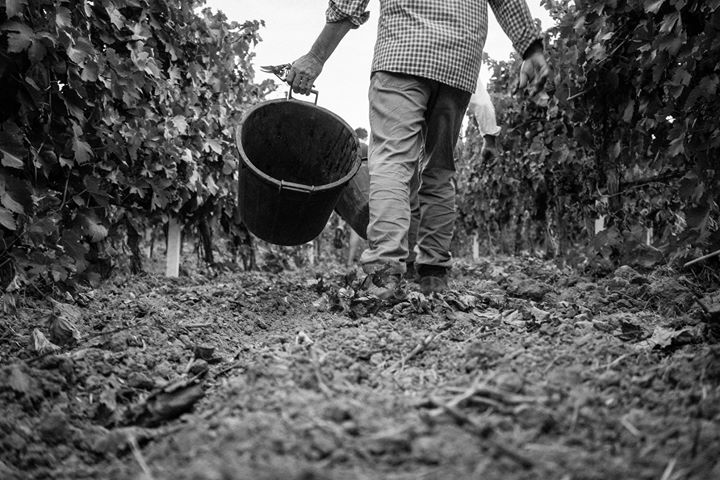 La #Vendemmia continua. E noi continuiamo ad amare ciò che facciamo. #CantinaEnotria #Harvest #Calabria