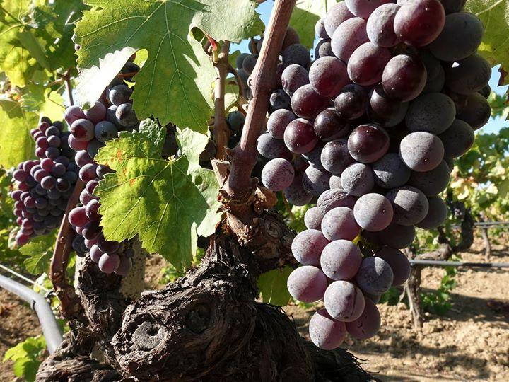 Vendemmia è gioia. #Grapes #Harvest