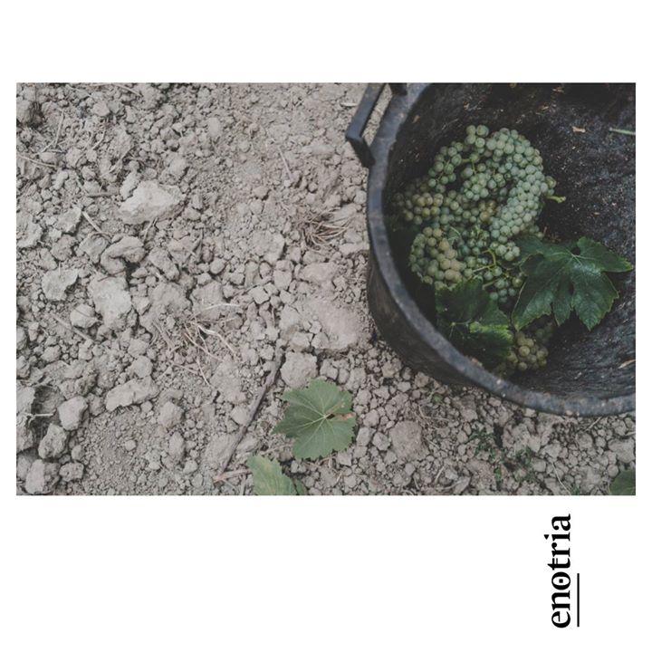 Intorno alla poesia. #Vendemmia. … About poetry. #Harvest #CantinaEnotria #Calabria